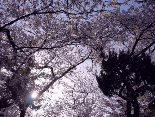画像 個展 鶴橋 桃谷 桜 花